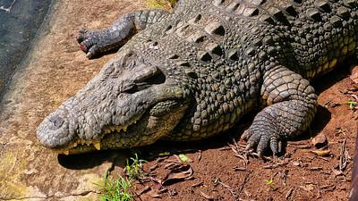Krokodil | Crocodile