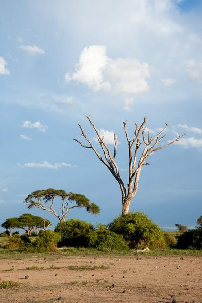 Amboseli Dead Tree