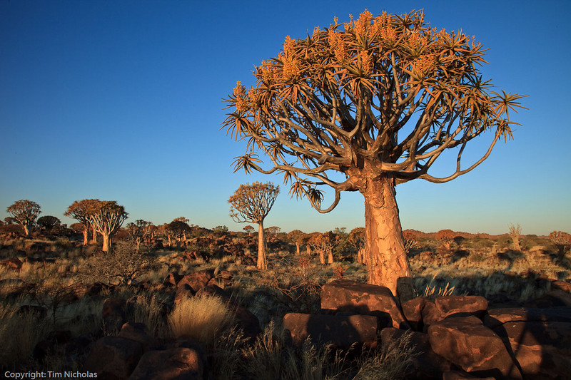 Quivertree Forest late afternoon