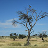 Kgalagadi Transfrontier Park: Open veld with Black Chested Snake Eagle