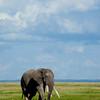 Lone Amboseli Elephant
