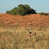 Kgalagadi Transfrontier Park: Dunes with gemsbok