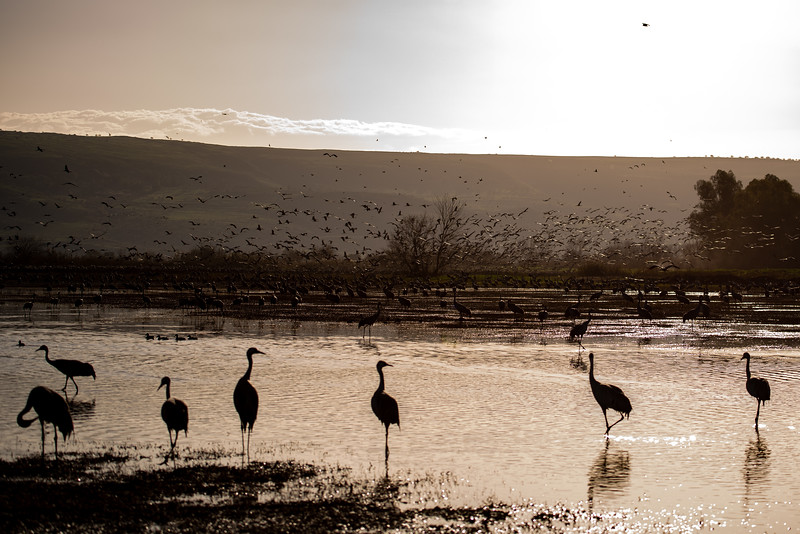 Cranes at Agamon Hachula, Israel