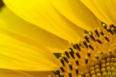 Close-up of a sunflower in bloom.