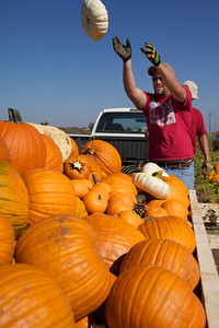 Pumpkin researchers loading a trailer after weighing each pumpkin or squash individually.