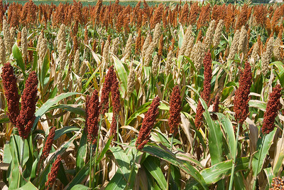 Some of the colors found in grain sorghum. Most people know sorghum as bird seed, but it is a good cattle feed in the U.S. and is popular as food for people in other nations. Sorghum can be grown with very little water and is an excellent rotational crop for cotton.