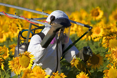 Spraying research sunflower plots to prevent damage from sunflower moth, a serious pest.