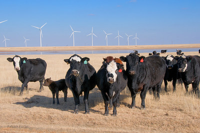 Wind turbines and curious cattle near a playa lake in the Northern Panhandle of Texas.