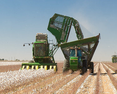 Cotton stripper (harvester) dumping its load in an attendant wagon. The cotton will be taken to the edge of the field and compressed into large modules. These will later be picked up in specialized trucks and hauled to the gin.