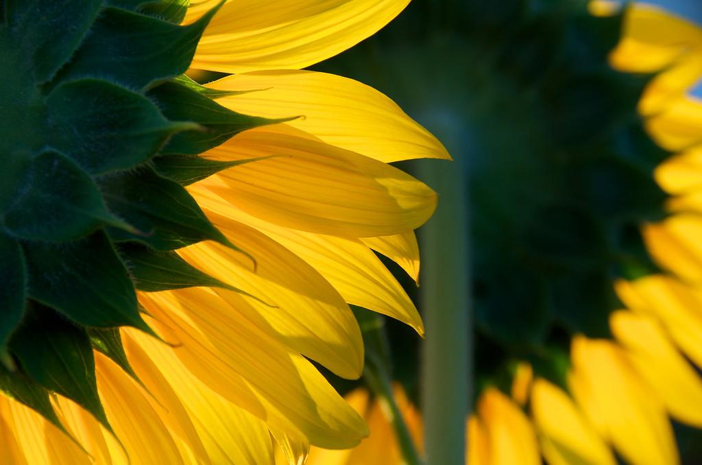 Sunflowers facing east toward a rising sun.