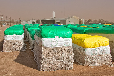 Not a pretty photo and taken on a windy, dusty day. These are modules of cotton as brought from the field. The cotton gin is in the background of the photo. Ginning will separate the lint from the seed, bracts, stems etc.