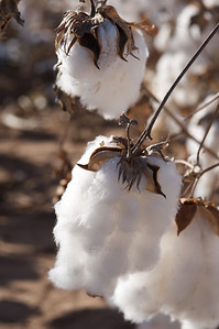 Cotton bolls ready for harvest. The dark areas inside the lint are seeds.