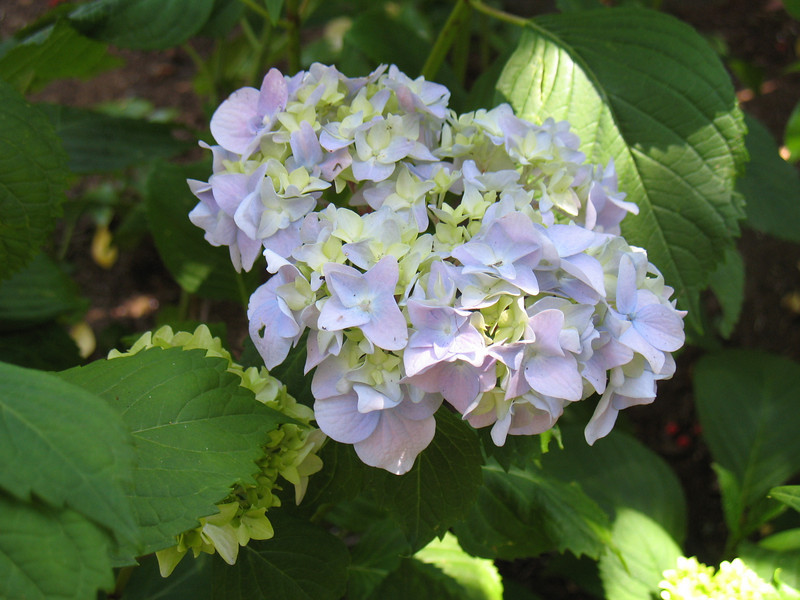 The first blooms on my Nikko Hydrangeas.