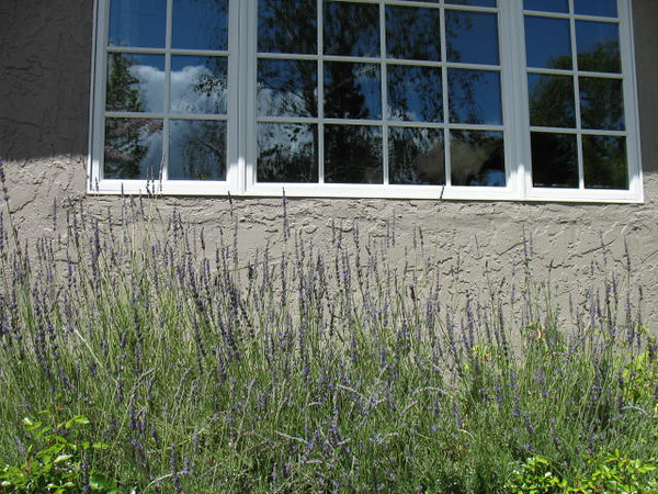 Lavender is getting taller. Both kitties are in the window, but the reflection obscures them.