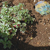 Sedum Tri-color ground cover.