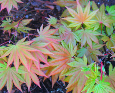 The foot tall Japanese Maple Autumn Moon in its second year.