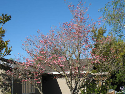 Our treasured Pink Dogwood, Cornus florida rubra.