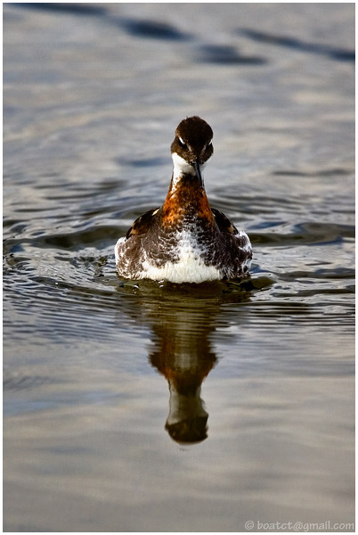 Red-necked phalarope. I'm not a bird photographer by any stretch but I found these guys pretty interesting.