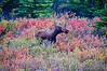 The only moose we saw at Denali National Park