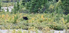 Our 1st Brown bear citing in Denali National Park.  This bear only had 3 legs.
