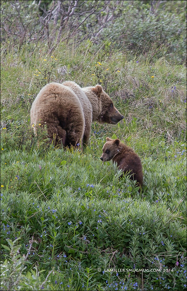 Brown Bear with Cub