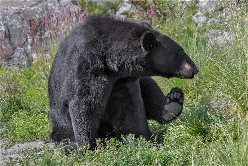 Black bear scratching