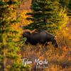 224  G Moose in Denali
