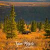 217  G Moose in Denali