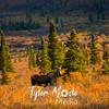 222  G Moose in Denali