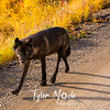 524  G Denali Wolf
