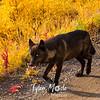 529  G Denali Wolf