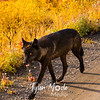 527  G Denali Wolf
