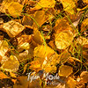642  G Chena River Area Aspen Leaves