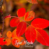 723  G Fall in South Central Alaska Red Leaves