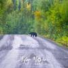 13  G Black Bear on Road