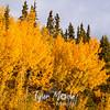 889  G Fall Colors Near Chitina
