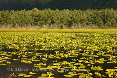 Lilies on a pond north of Seward, Alaska.