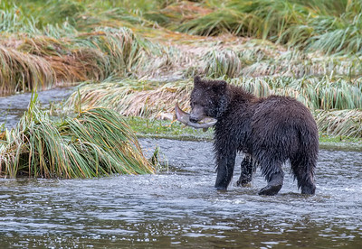 If you look closely, you can see roe spewing from the salmon as it is held tightly in the bear's mouth. Honorable Mention, N4C Nature Prints, February 2016
