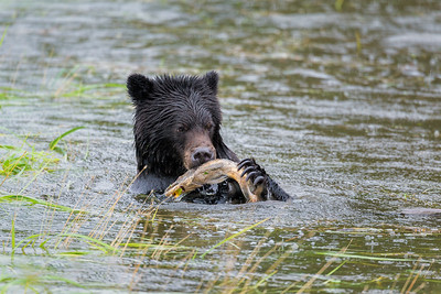 They would pause in their play to catch salmon and eat, and then play some more.