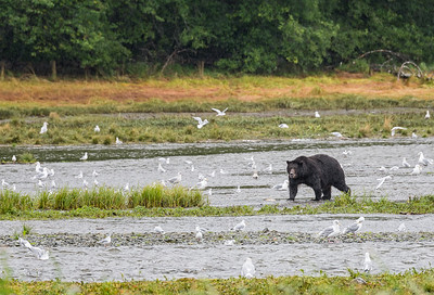 These are brown bears, Ursus arctos, the same species as Grizzly Bears.