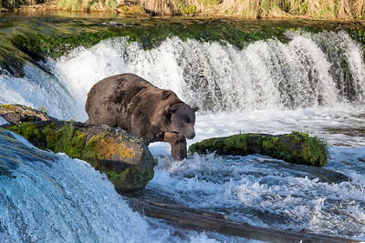 We saw a few bears at the falls. And we saw silver and a few sockeye salmon jumping at the falls. But when the bears were there, the salmon were not jumping.