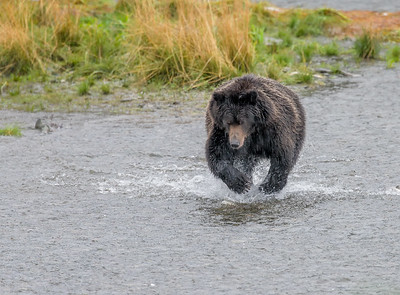There was a 19 foot tide. At low tide, as here, the bears fished in the shallow water. At high tide, the water came right up around our viewing area, and so did several of the bears.
