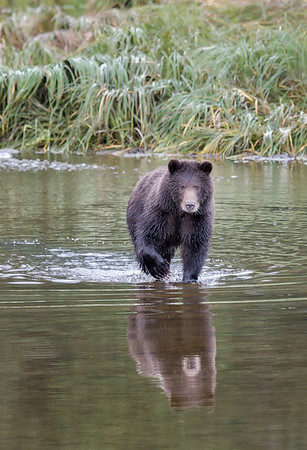 Over the course of the day, we saw about 25 bears. Sometimes as many as 11 were in view at once.
