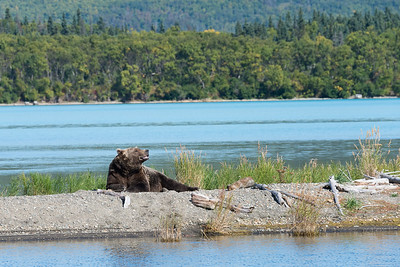 There were not nearly as many bears at Katmai (during the four days we were there). This is number 410, a 27-year-old female who ate prodigious numbers of salmon and slept a lot.