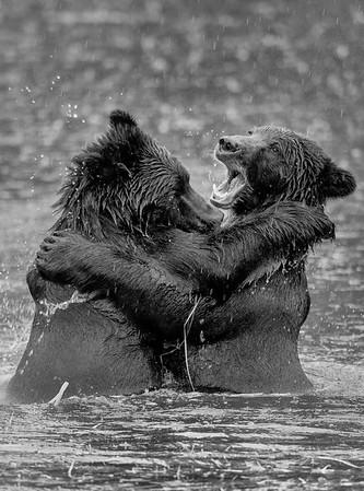 Grappling Brown Bears
