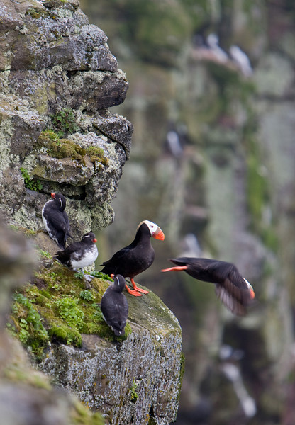 Tufted puffins, parakeet auklets, Pribilof Islands