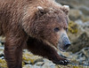 Alaska brown bear, Katmai National Monument