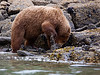 Alaska brown bear foraging by Katmai shore