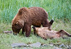 Alaska Brown Bear ( grizzly) mother with bored cub, Katmai National Monument, Alaska