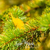 118  G Yellow Leaf in Pine Needles